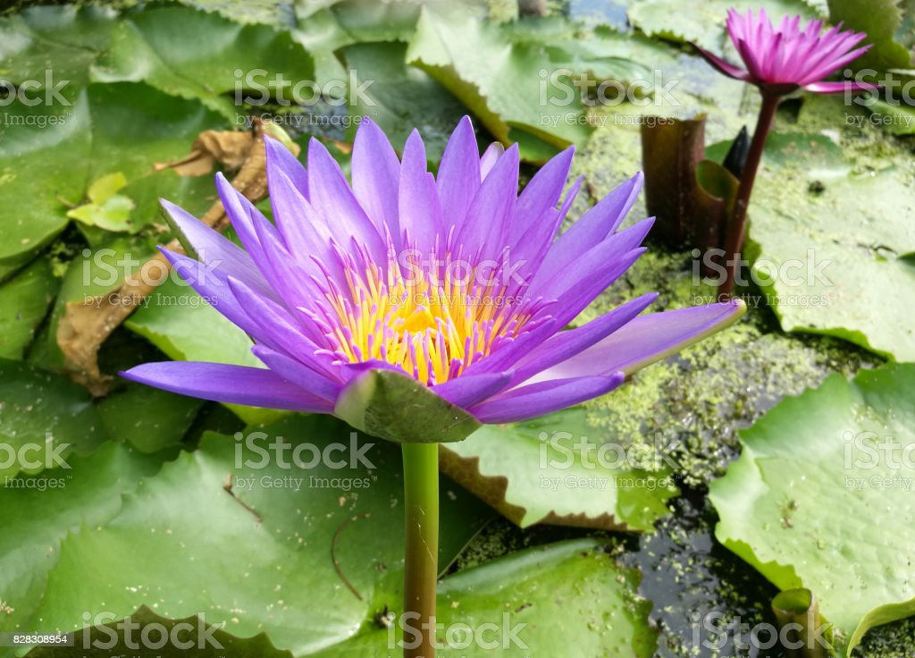 Top view of beautiful light pink lotus and purple lotus flowers or...