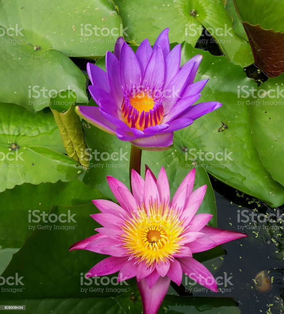 Beautiful pink and purple lotus in slow life day stock photo