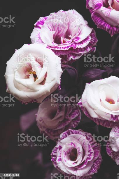 Beautiful pink and purple roses on dark background picture id905387090?b=1&k=6&m=905387090&s=612x612&h=wezkzzsp1ozquf5r9si1uhr3c7xjsz8ktd06fef4dlq=