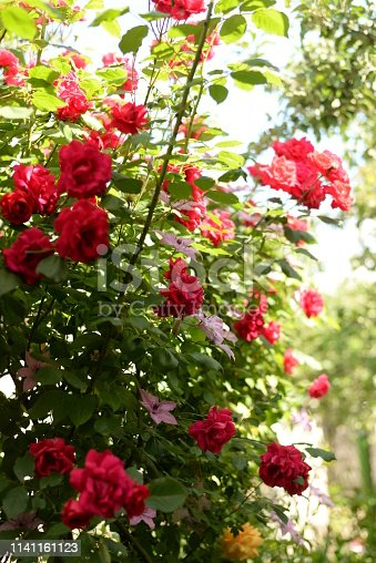 istock Beautiful pink and red climbing roses in spring in the botanic garden . green background 1141161123