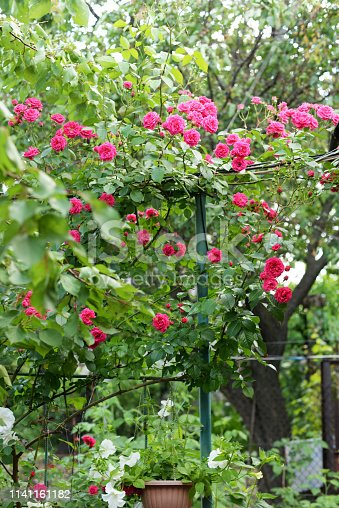 istock Beautiful pink and red climbing roses in spring in the botanic garden . green background 1141161182