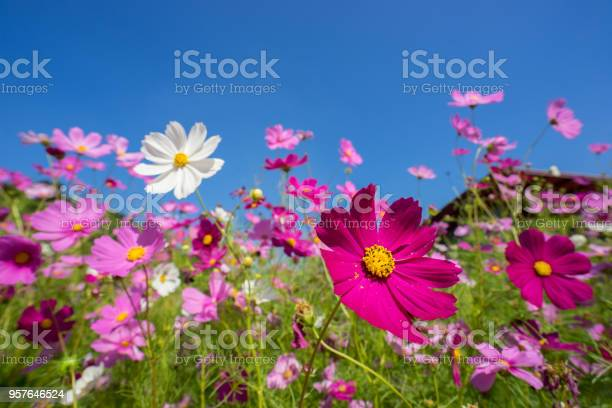 Beautiful pink and white cosmos flowers blooming under sunlight at picture id957646524?b=1&k=6&m=957646524&s=612x612&h=zf6sxmcgzkv4 rqcq0ov7ofnyqhsigmypcxvqwskdom=