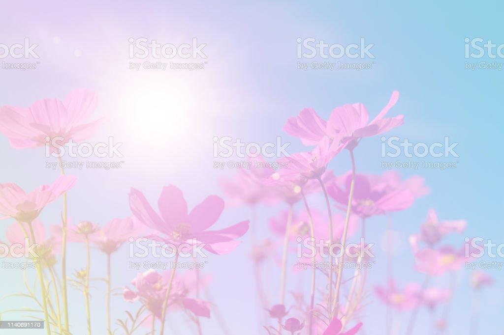 Photo libre de droit de Belles Fleurs De Cosmos Rose Et ...
