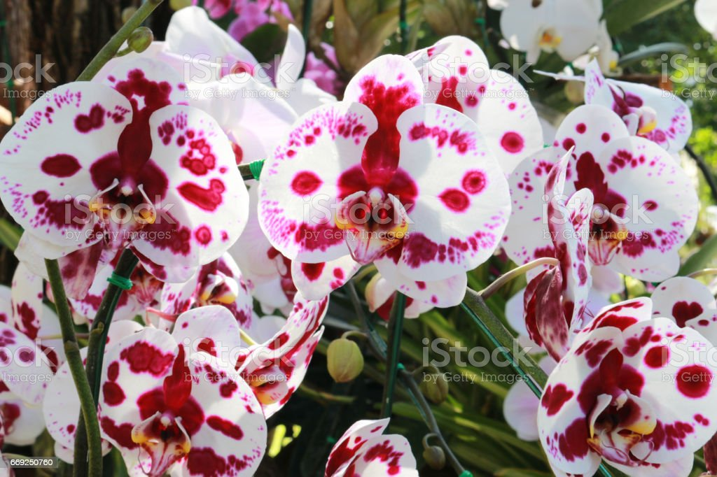 Beautiful Pink And White Orchids Flower With Sunshine Light ...