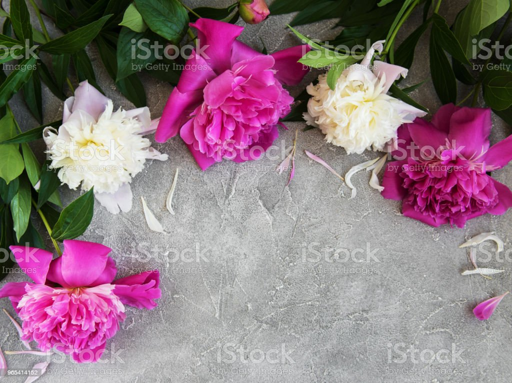 beautiful pink and white peony flowers royalty-free stock photo