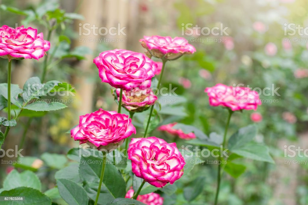 Beautiful Pink and white roses tree in the garden stock photo