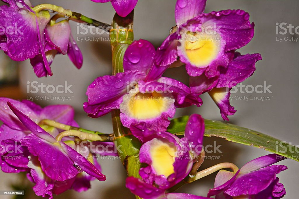 Beautiful pink and yellow Dendrobium orchid stock photo