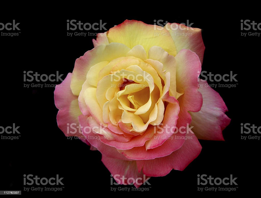 "Beautiful pink and yellow Rose ""Peace"" on black background royalty-free stock photo"