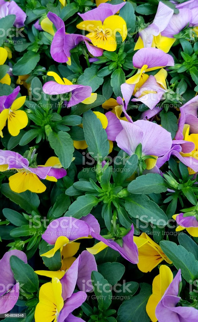 Beautiful pink and yellow violets close-up. Little bright colorful flowers. royalty-free stock photo