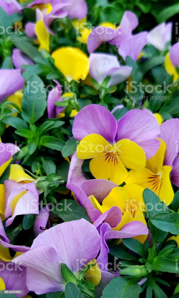 Beautiful pink and yellow violets' field. Bright little flowers. Top view, close up. royalty-free stock photo