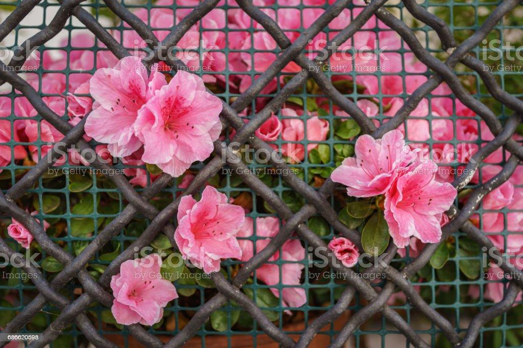 Belles fleurs de l'azalée roses grandissent sur clôture net métal d'acier comme toile de fond photo libre de droits