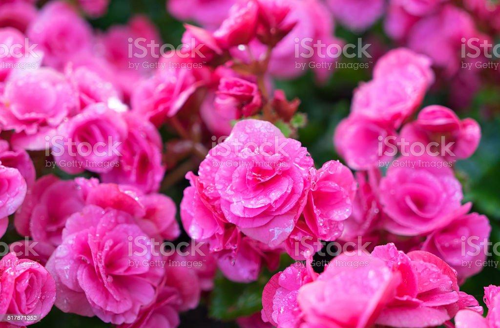 Beautiful pink big begonias stock photo