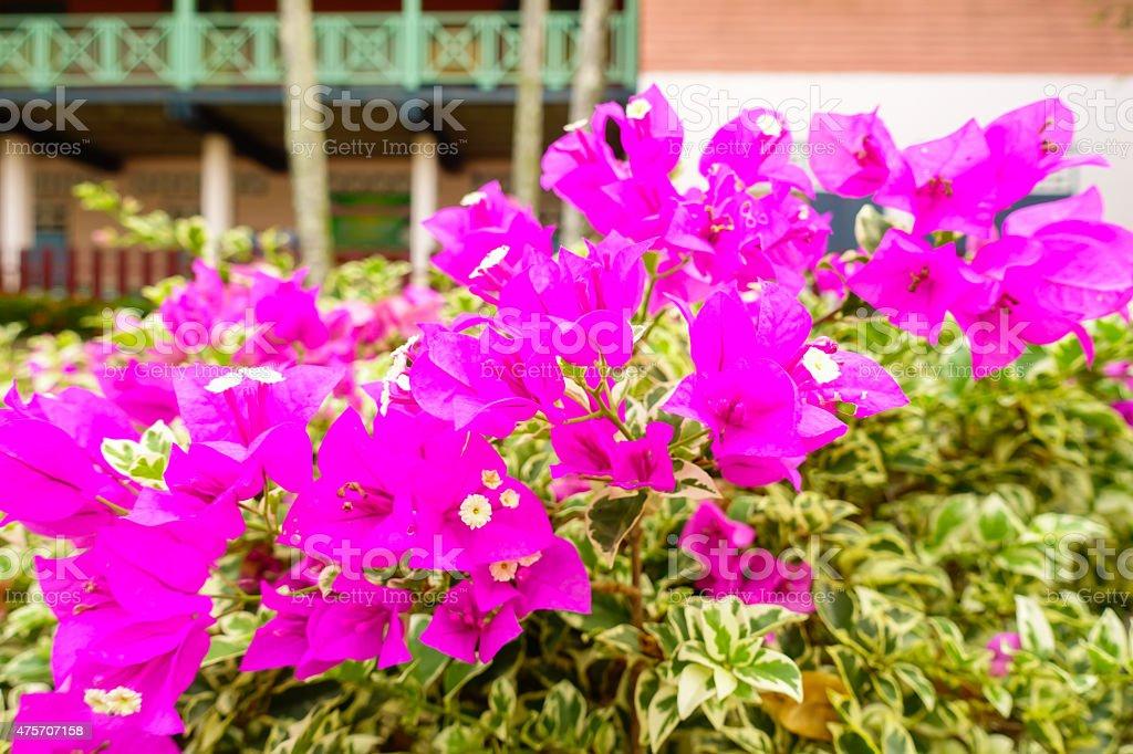 Schönen Bougainvillea-Blüten, pink – Foto