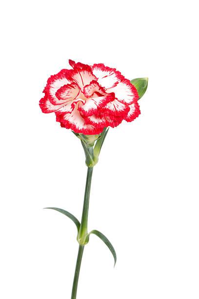 schöne rosa carnations, isoliert auf weiss - blumenstreifen stock-fotos und bilder