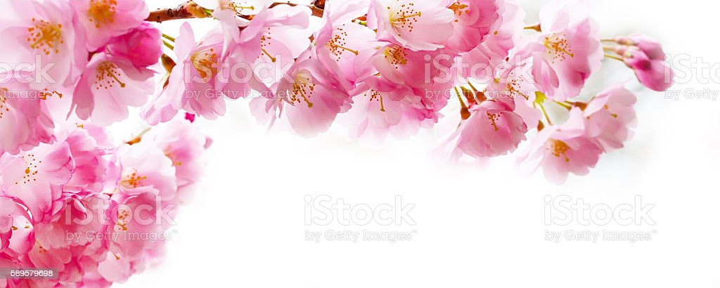 Beautiful pink cherry blossom branch, Sakura flowers on white stock photo