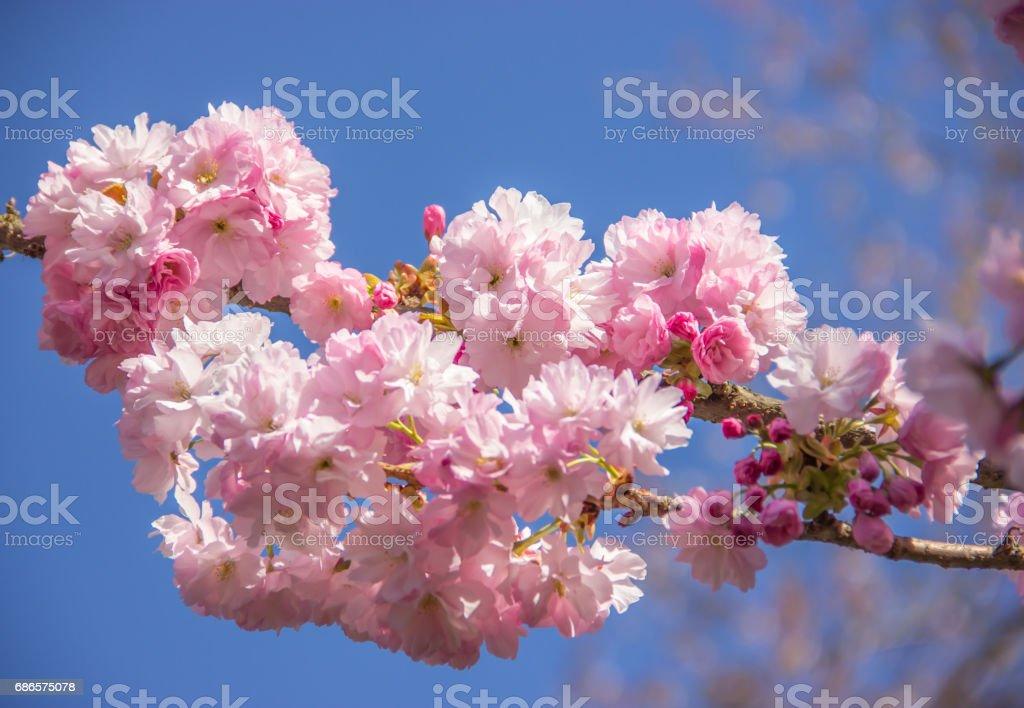 Beautiful pink cherry blossom flowers in spring, Japan royaltyfri bildbanksbilder