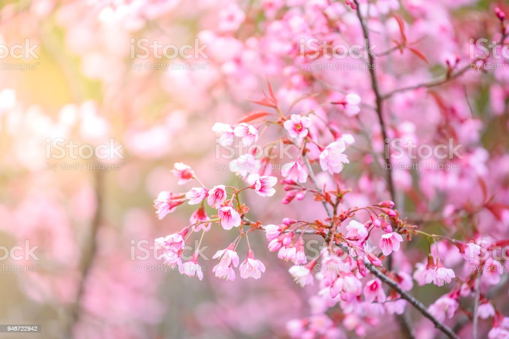 Beautiful pink cherry blossom or sakura flower blooming in blue sky beautiful pink cherry blossom or sakura flower blooming in blue sky on nature background royalty mightylinksfo