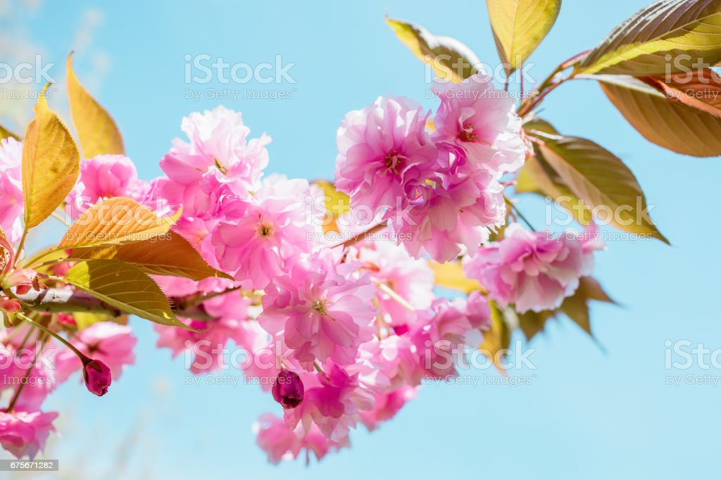 Beautiful pink cherry blossom sakura and leaves in spring time over blue sky. royalty-free stock photo