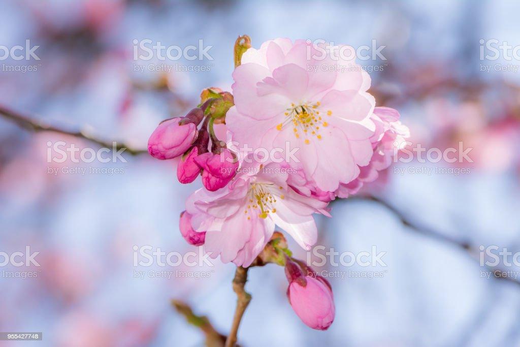 Beautiful pink cherry blossoms - Zbiór zdjęć royalty-free (Bez ludzi)