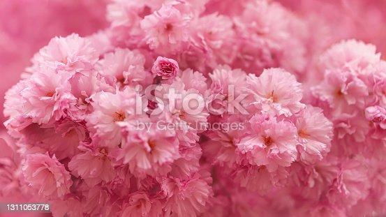 istock Beautiful pink cherrytree 1311053778