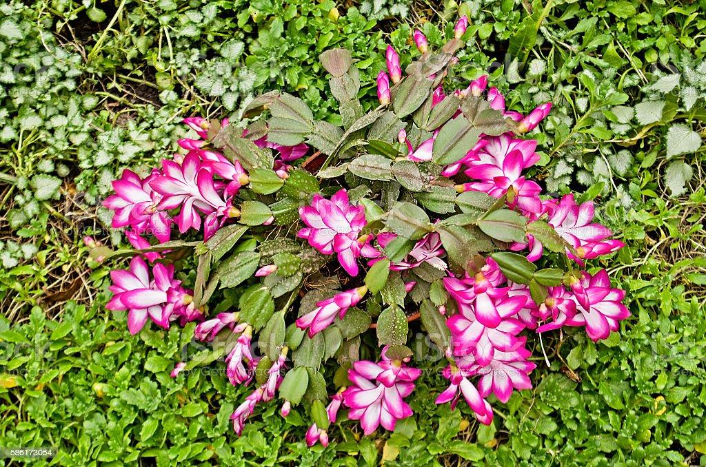Beautiful pink Christmas Cactus stock photo