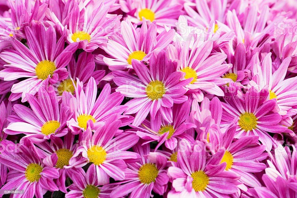 sch ne rosa blumen hintergrund chrysantheme stock fotografie und mehr bilder von baumbl te istock. Black Bedroom Furniture Sets. Home Design Ideas