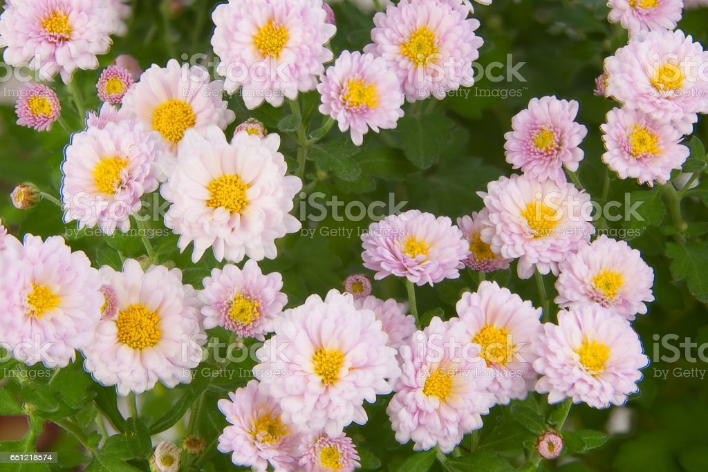 beautiful pink chrysanthemums on green background stock photo