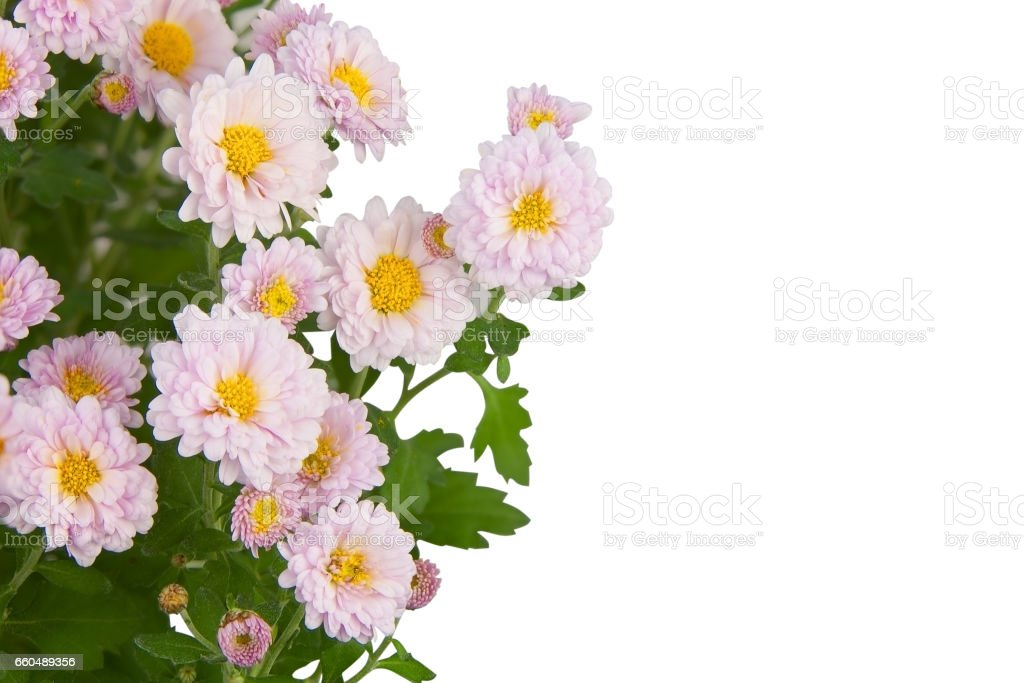 beautiful pink chrysanthemums on White background stock photo