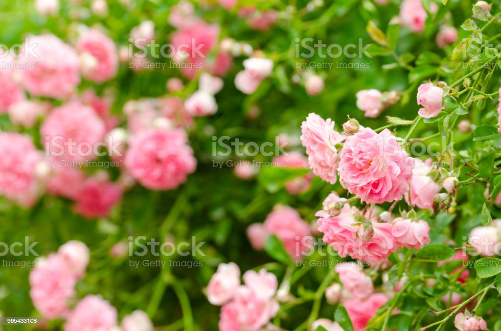 Beautiful pink climbing roses in spring in the garden zbiór zdjęć royalty-free