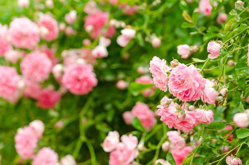 상승 장미 봄에서 정원에서 아름 다운 핑크 꽃 나무에 대한 스톡 사진 및 기타 이미지