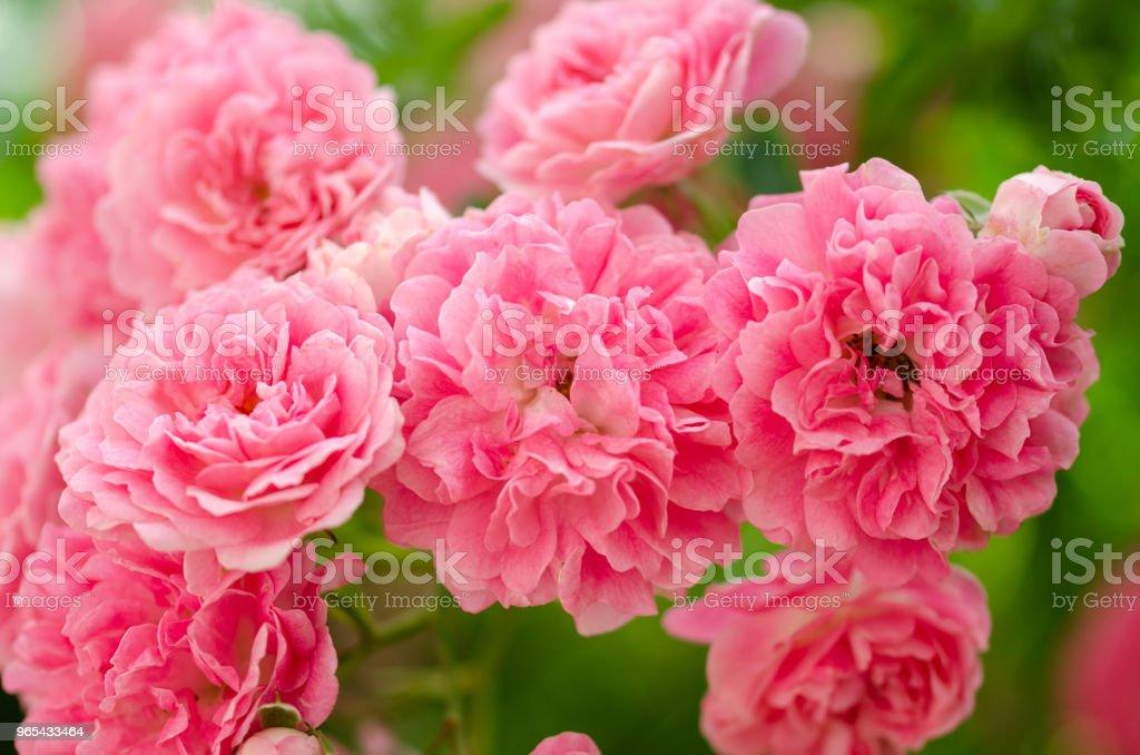 美麗的粉紅色攀登玫瑰在春天在花園裡 - 免版稅前後院圖庫照片
