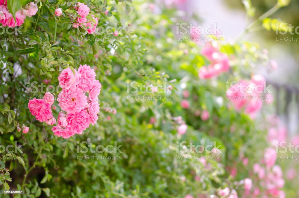Beautiful pink climbing roses in spring in the garden royalty-free stock photo
