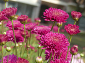 Beautiful pink color Chrysanthemums, cosmos flowers blooming in the garden.