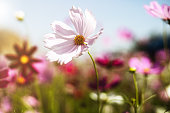 Beautiful pink cosmos flower blooming in the garden with soft color tone for nature concept