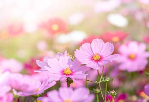 beautiful pink cosmos flower in garden stock photo