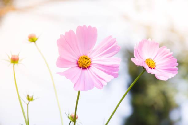 Schöne rosa Cosmos Blumen (Cosmos Bipinnatus) im Garten – Foto