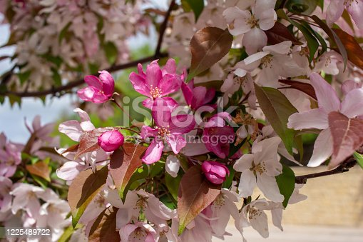 This images shows a close-up abstract view of beautiful rosy pink crabapple tree blossoms with defocused blue sky background.