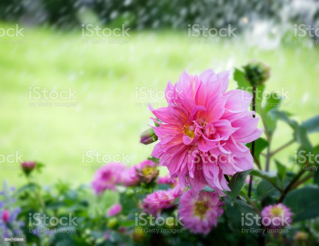 Beautiful pink Dahlia flower in the green garden stock photo