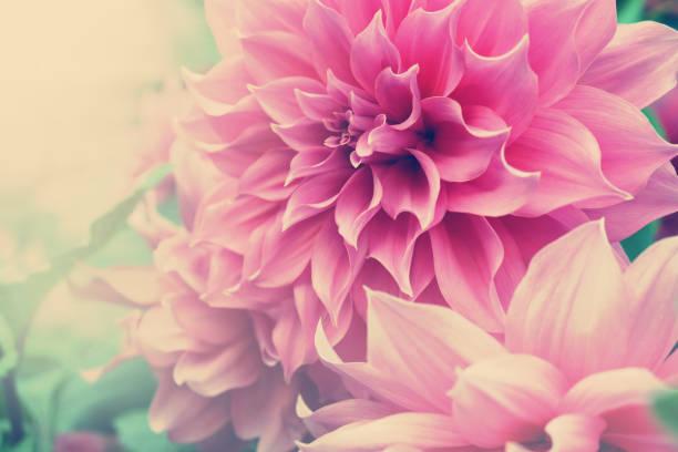 Beautiful pink dahlia fresh flower blossoming in the garden picture id936854004?b=1&k=6&m=936854004&s=612x612&w=0&h=r bpk8qg7ufcytvfjvzjgvf d4jgqfov8qvyk0fgm4s=