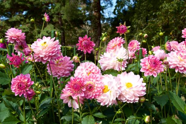 Belle rose dahlia dans le jardin. - Photo