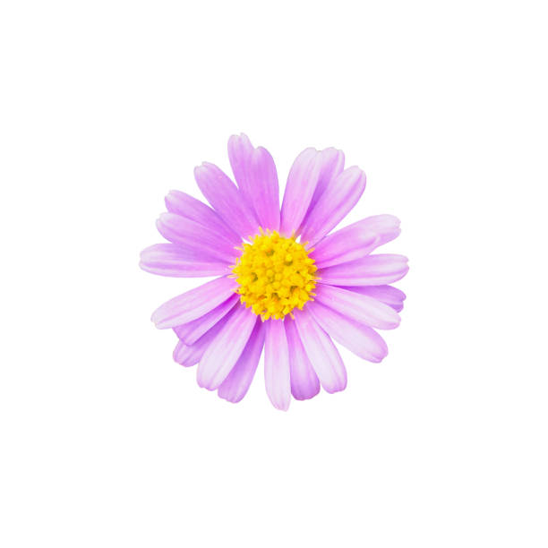 Royalty free silhouette of a purple flower with yellow center silhouette of a purple flower with yellow center pictures images and stock photos mightylinksfo