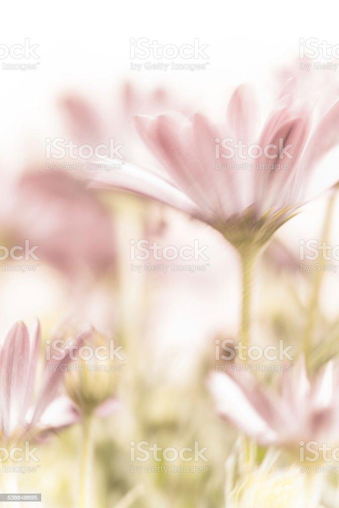Beautiful pink daisy flowers stock photo