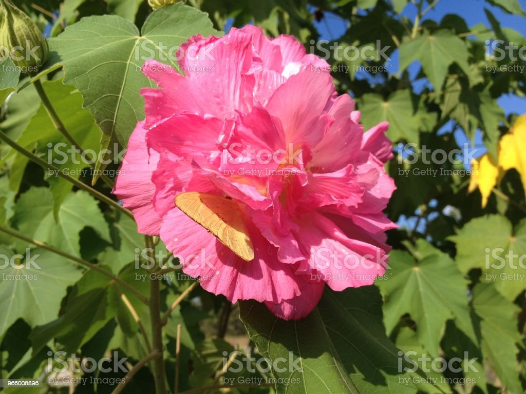 beautiful pink Double-petalled Pink Hibiscus Blossom with an Yellow Butterfly on a Sunny Day in the Park - Royalty-free Abstract Stock Photo