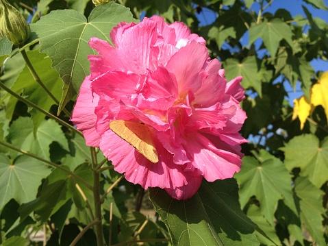 Mooie Roze Dubbelbladige Roze Hibiscus Blossom Met Een Gele Vlinder Op Een Zonnige Dag In Het Park Stockfoto en meer beelden van Abstract