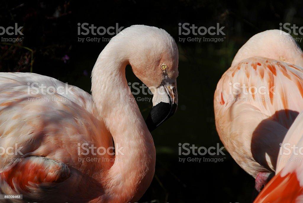 Beautiful Pink Flamingo stock photo