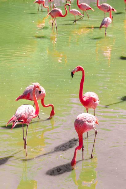 schöne rosa Flamingos stehen auf dem gleichen Fuß. – Foto