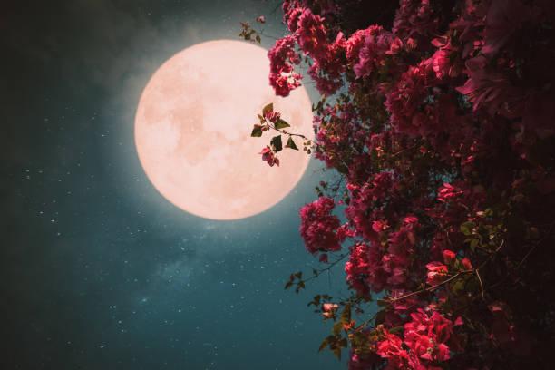 Schöne rosa Blütenblüte am Nachthimmel mit Vollmond – Foto
