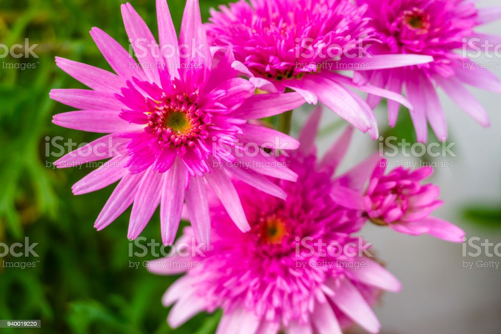 Beautiful Pink Flower In A Blur Background With Flowers Pink