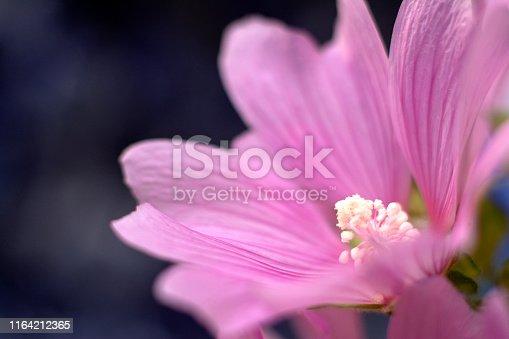 Beautiful pink flower. Mallow (Malva silvestris) on the dark background.