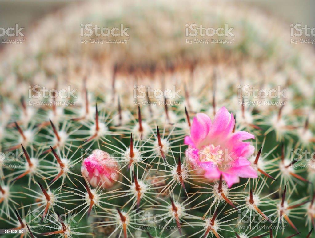 작은 냄비, 장식 식물에에서 선인장의 아름 다운 분홍색 꽃. 근접 촬영 볼 수 있습니다. 선인장 꽃의 피. - 로열티 프리 0명 스톡 사진